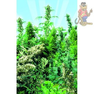 SensiSeeds Outdoor Mix Seeds 25er