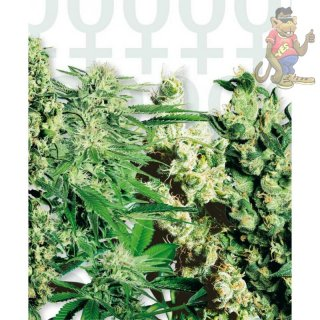 SensiSeeds feminised Mix Seeds