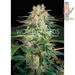 WOS Afgan Kush Ryder AUTO Seeds Autoflowering Collection Seeds 12er