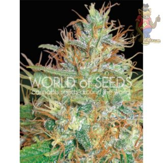WOS Afgan Kush x Skunk Seeds Medical Collection Seeds 3er