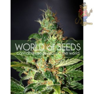 WOS Chronic Haze Seeds Legend Collection Seeds 3er
