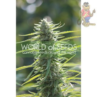 WOS Colombian Gold Seeds Pure Origin Collection Seeds 7er