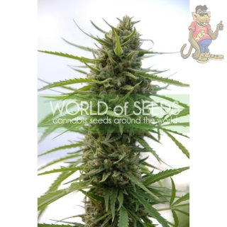 WOS Kilimanjaro Seeds Pure Origin Collection Seeds