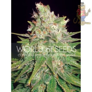 WOS Mazar x Great White Shark Seeds Medical Collection Seeds