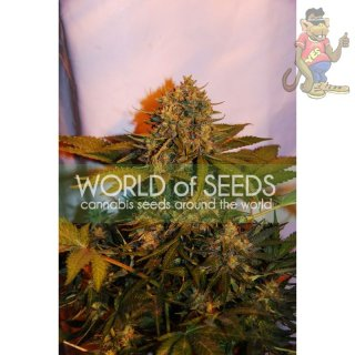 WOS Northern Light x Big Bud Seeds Autoflowering Collection Seeds
