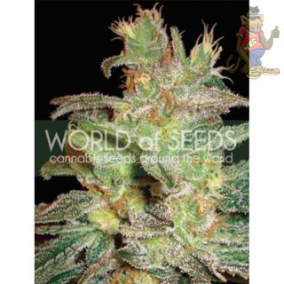 WOS Northern Light x Big Bud Seeds Medical Collection Seeds