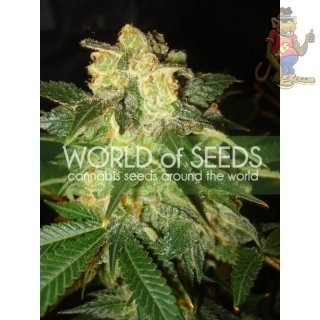 WOS Pakistan Ryder Seeds AUTO Autoflowering Collection Seeds 7er