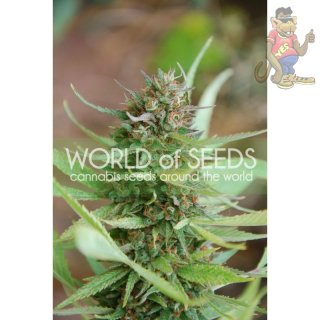 WOS Strawberry Blue Seeds Legend Collection Seeds