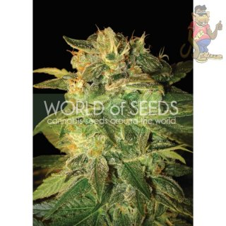 WOS Sugar Mango Ryder AUTOSeeds Autoflowering Collection Seeds