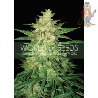 WOS Sweet Coffee Ryder AUTO Seeds Autoflowering Collection Seeds 12er