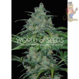 WOS Wild Thailand Seeds Pure Origin Collection Seeds