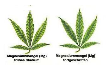 MG-Mangel Hanf
