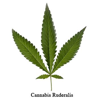 Typisches Blatt Cannabis ruderalis