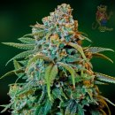 Barneys Farm Liberty Haze Seeds