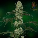 Barneys Farm New York City Diesel AUTO Seeds 10er