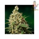 Barneys Farm Peppermint Kush Seeds