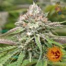 Barneys Farm Peyote Critical Seeds 10er