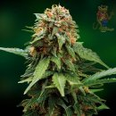 Barneys Farm Tangerine Dream Seeds 5er