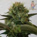 Barneys Farm Top Dawg Seeds