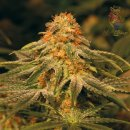 Barneys Farm Cookies Kush Seeds