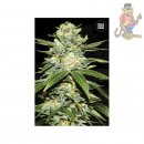 Bulk Seed Bank - Auto Perfect Power Plant 5er Packung...