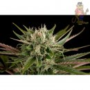 DINAFEM Blue Cheese Seeds 5er