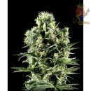 Greenhouse Himalaya Gold Seeds 10er