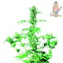 SensiSeeds Early Girl Seeds 10er