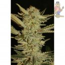 Serious Seeds Bubble Gum Reg Seeds 11er