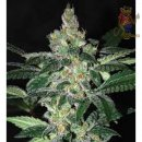WOS Amnesia Legend Collection Seeds 3er Packung feminisiert