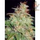WOS Mazar x White Rhino Seeds Medical Collection Seeds 3er