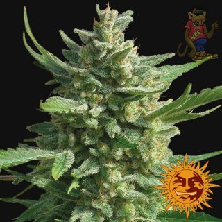 Barneys Farm Critical Kush AUTO Seeds