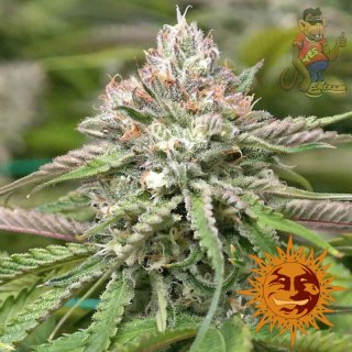Barneys Farm Peyote Critical Seeds