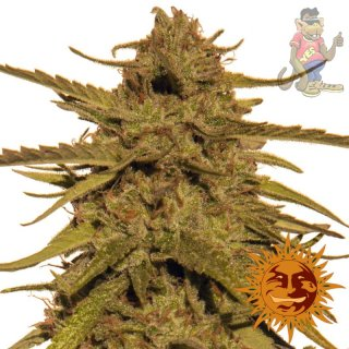 Barneys Farm Pineapple Haze Seeds