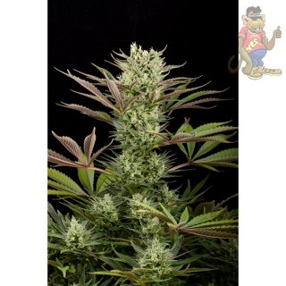 DINAFEM Deep Cheese Seeds