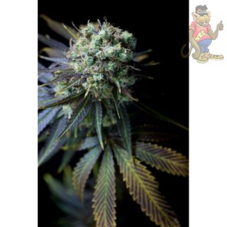 DINAFEM Dinamed CBD Seeds