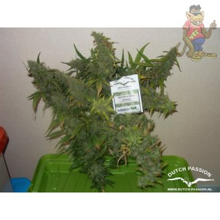 Dutch Passion Outlaw Amnesia Seeds
