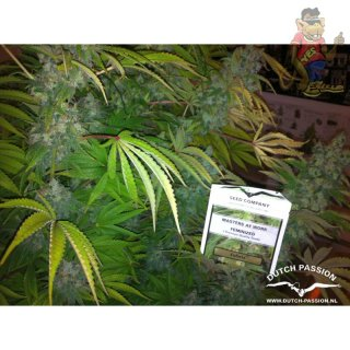 Dutch Passion Euforia Seeds 5er