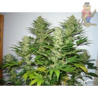 Dutch Passion Mazar Seeds 10er