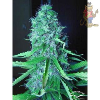 Dutch Passion Mazar Seeds