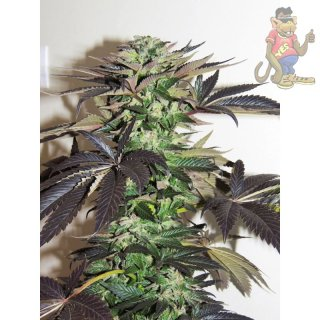 Dutch Passion Night Queen Seeds 5er