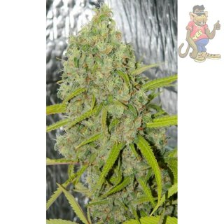 Dutch Passion Orange Bud Seeds