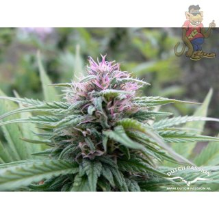 Dutch Passion Orange Hill Special Seeds