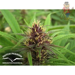 Dutch Passion Purple #1 Seeds 3er