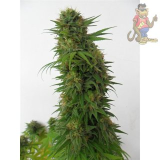 Dutch Passion Snowbud Seeds 3er