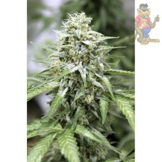 Dutch Passion Star Ryder AUTO Seeds 3er