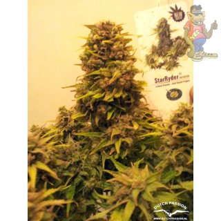 Dutch Passion Star Ryder AUTO Seeds