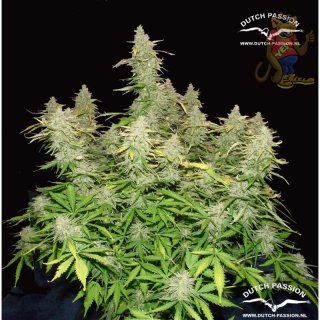 Dutch Passion Think Different AUTO Seeds