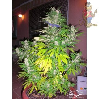 Dutch Passion White Widow Seeds