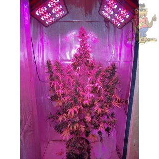 Dutch Passion Think Big AUTO Seeds